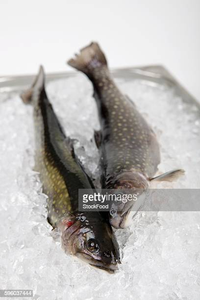 two fresh char on ice - speckled trout stock photos and pictures