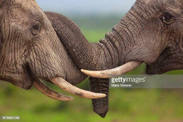 two friendly elephants touching each other with their trunks. - two animals stock pictures, royalty-free photos & images