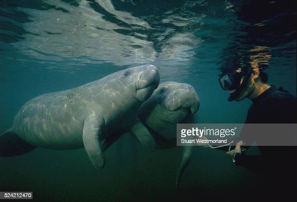 Two friendly manatees approach a snorkeler who reaches out to pet them gently in Florida's Crystal River
