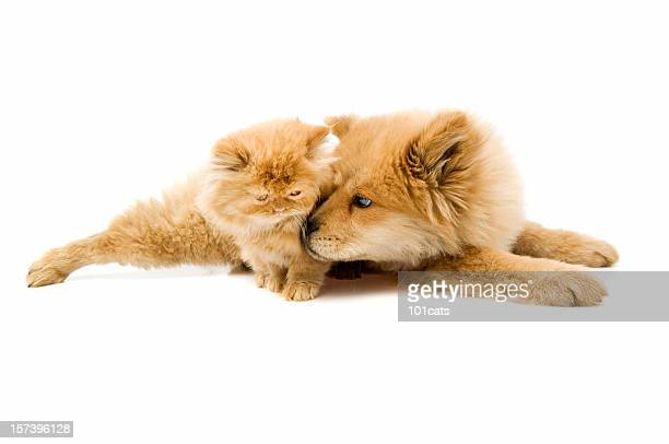 two friends - chow dog stock pictures, royalty-free photos & images