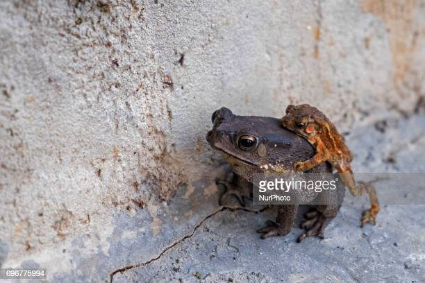 Two frog toads in a mating position on June 17 2017 in Pekanbaru Indonesia