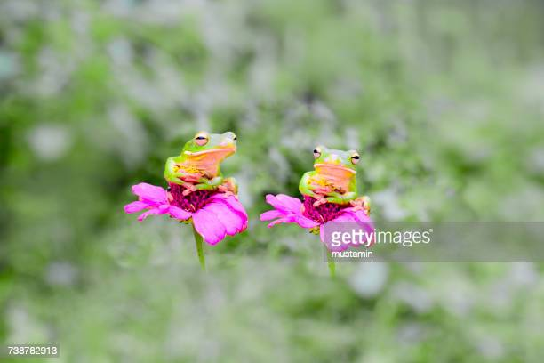Two frogs sitting on pink flowers