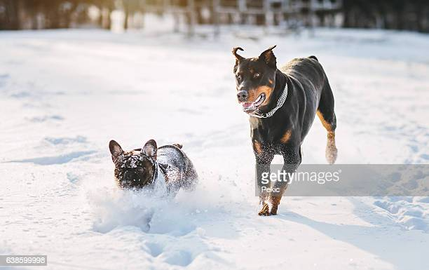 two funny dogs running at winter snow - doberman foto e immagini stock
