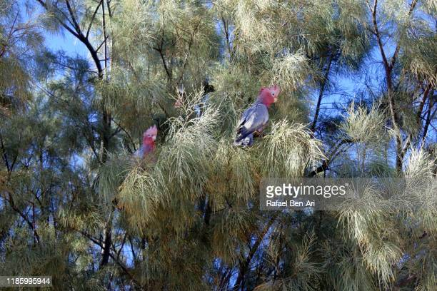 two galah birds cockatoo sitting on a tree branch - rafael ben ari fotografías e imágenes de stock