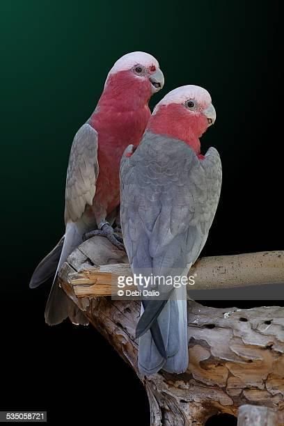Two Galah Cockatoos Perching