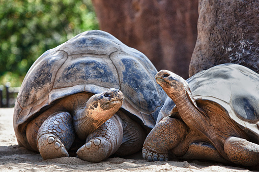 Two Galapagos Tortoises having a conversation as they relax 1041218766