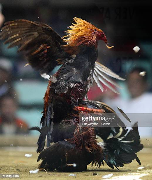 Two game cocks each with three inch razor sharp blades fastened to their left ankles fight to the death at the Pasay Cockpit Arena on October 10 2008...
