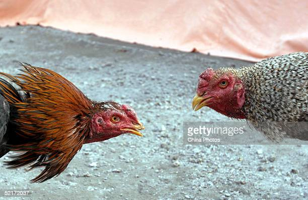 Two gamecocks confront each other during a cockfight show to mark the lunar new year of Rooster on February 10 2005 in Chengdu of Sichuan Province...
