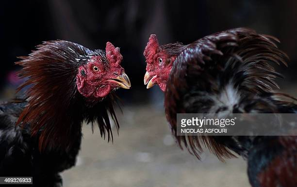 Two gamecocks face each other during a cockfighting tournament in Kabul on February 14 2014 Cockfighting a popular game among Afghans during the...