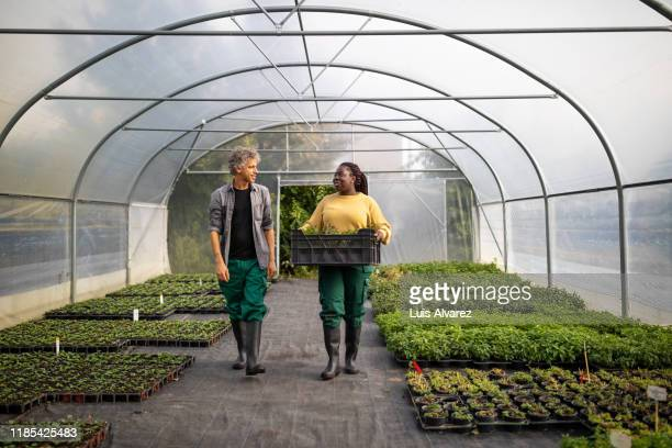 two garden workers working in a greenhouse plantation - mixed farming stock pictures, royalty-free photos & images