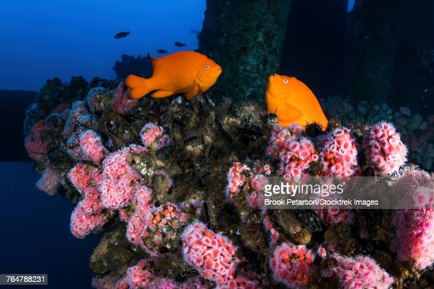 Two Garibaldi spar for mates among the anemones on the California Oil Rigs, Southern California.