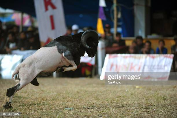 Two Garut sheep took part in the dexterity competition in the village of Rancabango Garut West Java in August2018 The match was attended by 300 sheep...