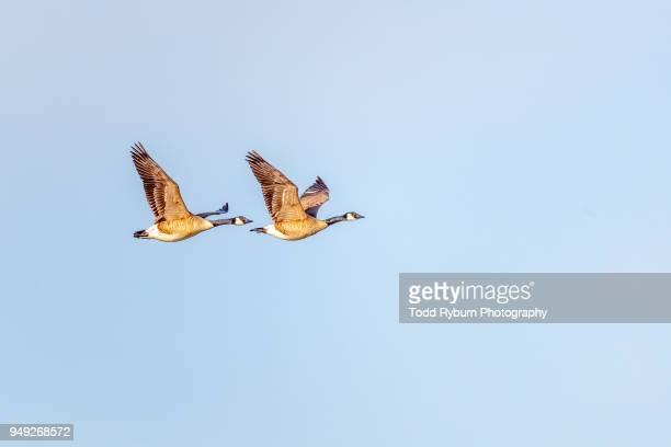 two geese in flight - kanadagans stock-fotos und bilder