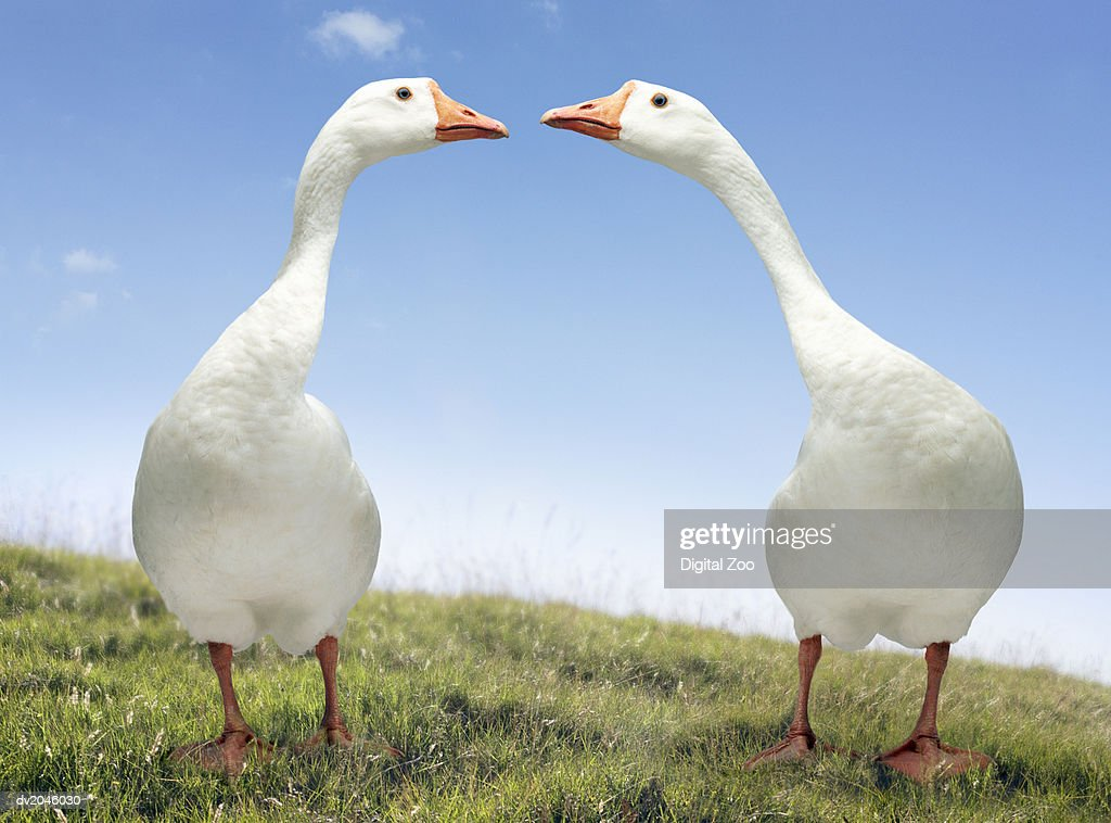 Two Geese Looking Face to Face : Stock Photo