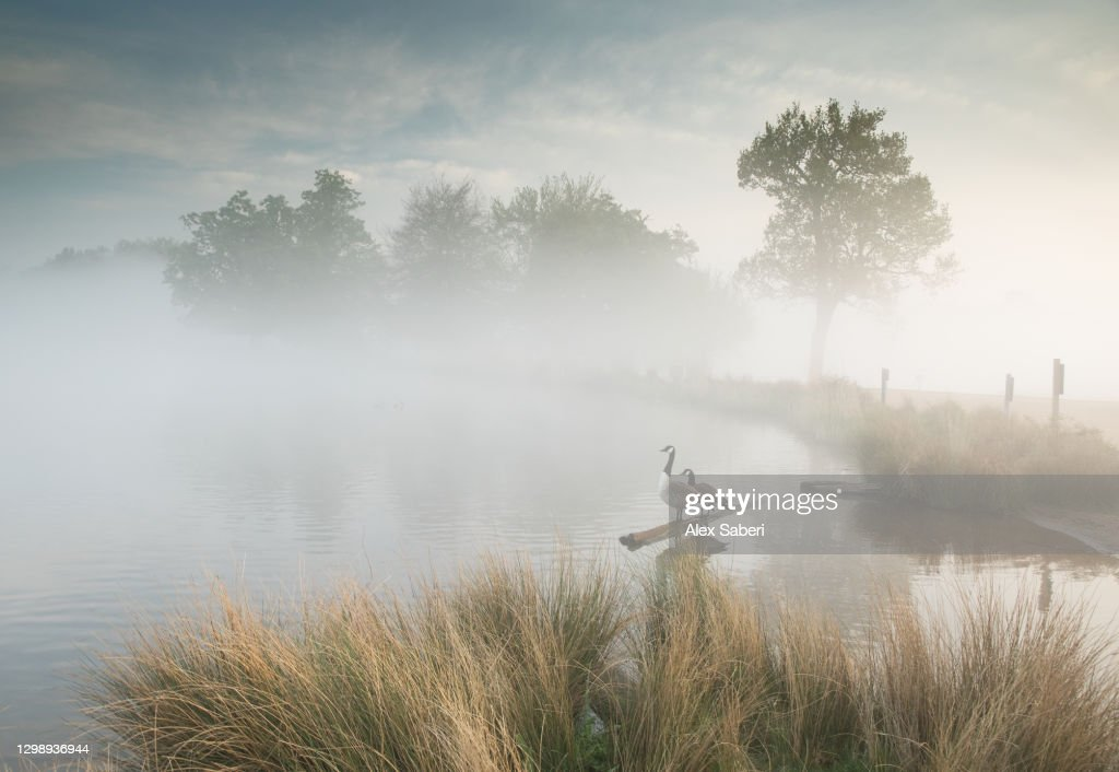 Two geese sit by a lake. : Stock Photo