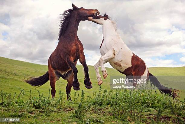 Two Geldings playing in Pasture