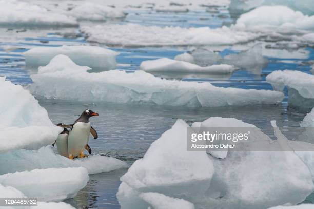 Two Gentoo penguins stand on an ice stone in front of the Brazilian Comandante Ferraz Station, on December 20, 2019 in King George Island,...