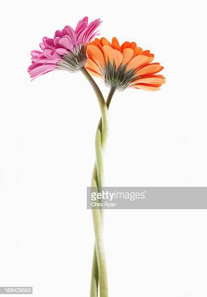 two gerbera daisies intertwined - twee objecten stockfoto's en -beelden