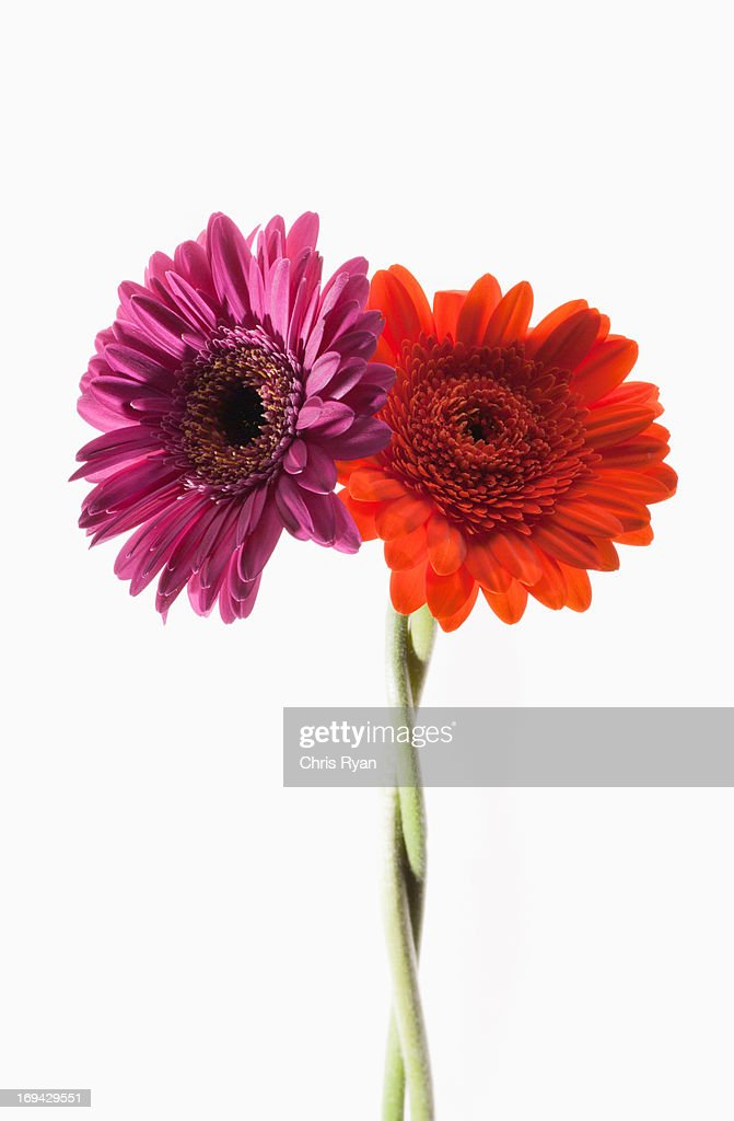 Two gerbera daisies intertwined : Stock Photo