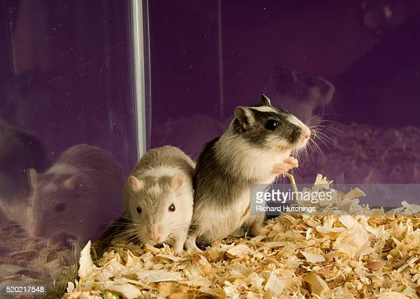 two gerbils in aquarium - gerbil - fotografias e filmes do acervo