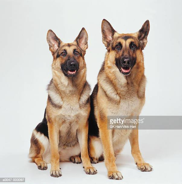 Two German Shepherds