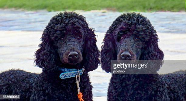 two giant black poodles - standard poodle stock photos and pictures
