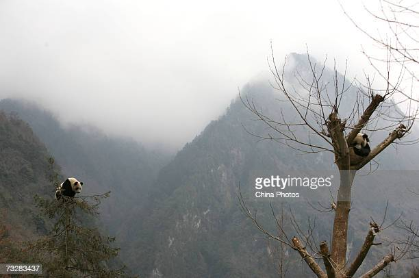 Two giant panda cubs play in trees at the China Wolong Giant Panda Protection and Research Centre on February 9, 2007 in Wolong Nature Reserve of...