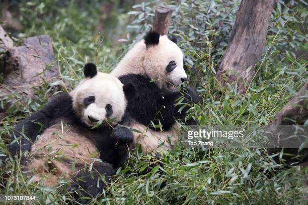 Two giant pandas eat bamboo at Chengdu Research Base of Giant Panda Breeding on December 14, 2018 in Chengdu, China.The research base is famous for...