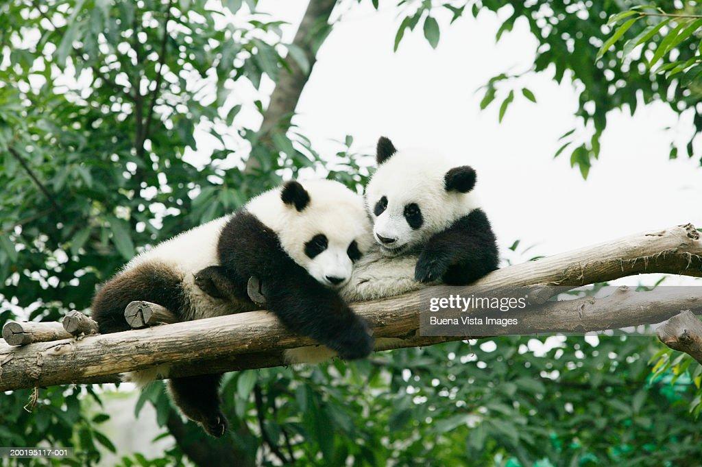 Two giant Pandas (Ailuropoda melanoleuca)in tree : Stock Photo