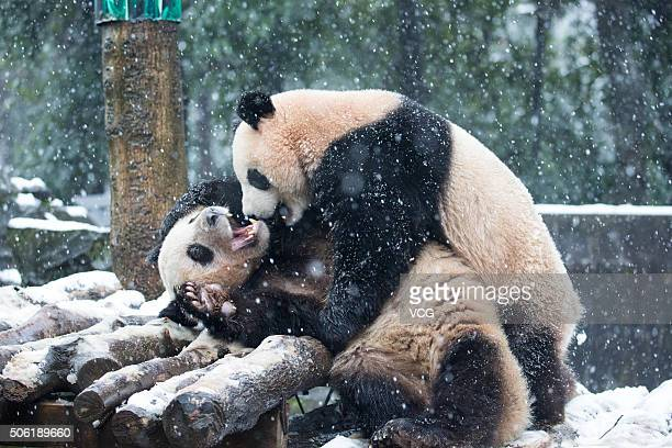 Two giant pandas play on snow at Hangzhou Zoo on January 21 2016 in Hangzhou Zhejiang Province of China Heavy snow falls in south China's Zhejiang...