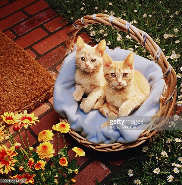 Two ginger kittens in basket on doorstep, overhead view