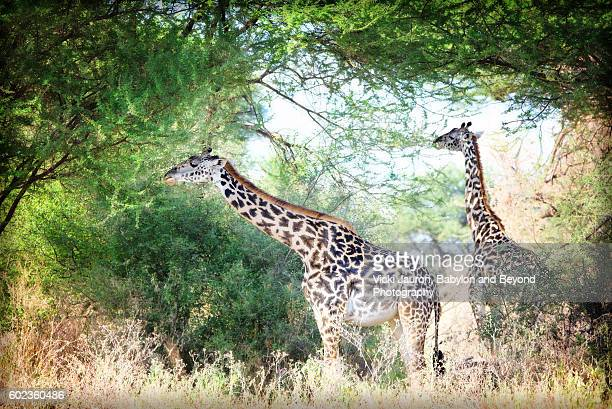 Two Giraffe Enjoying the Acacia Trees in Tarangire National Park, Tanzania