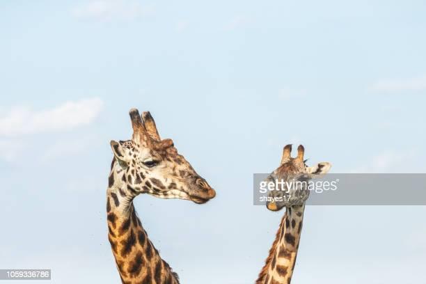 Two giraffe heads