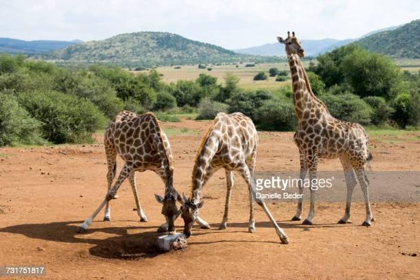 Two giraffe licking salt lick, Pilanesberg National Park, South Africa