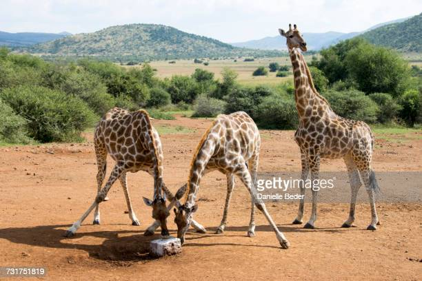 two giraffe licking salt lick, pilanesberg national park, south africa - vertebrate stockfoto's en -beelden