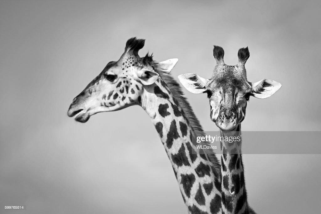 Two giraffe : Stock Photo