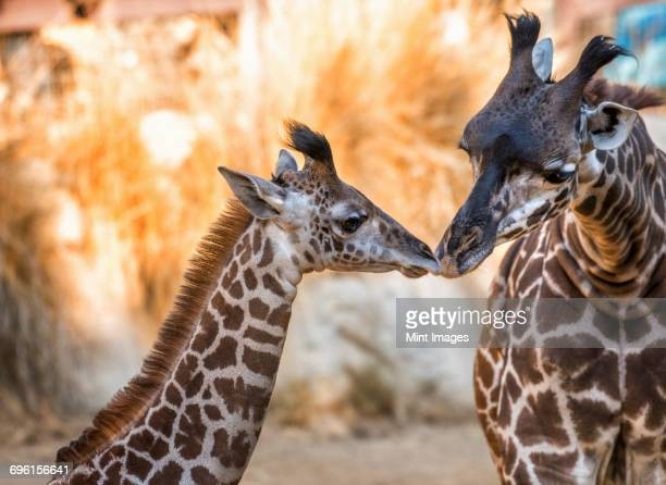 two giraffes at los angeles zoo nuzzling. - ロサンゼルス動物園 ストックフォトと画像