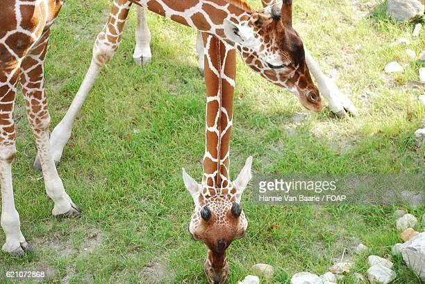 Two Giraffes eating grass