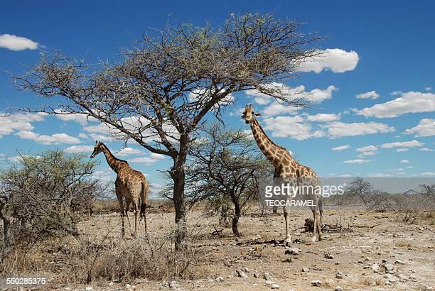 Two giraffes in Etosha National Park