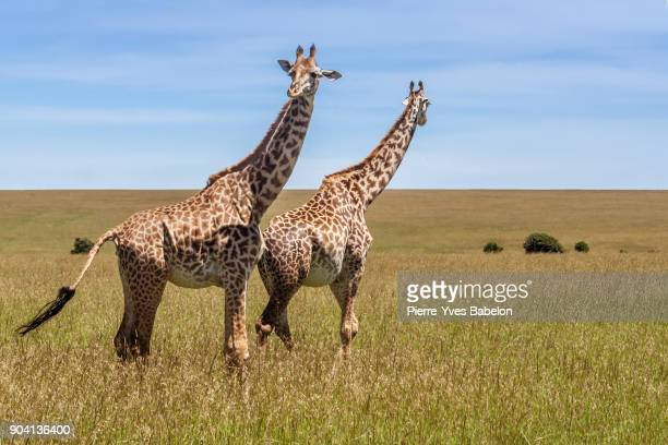 Two giraffes in the african savannah