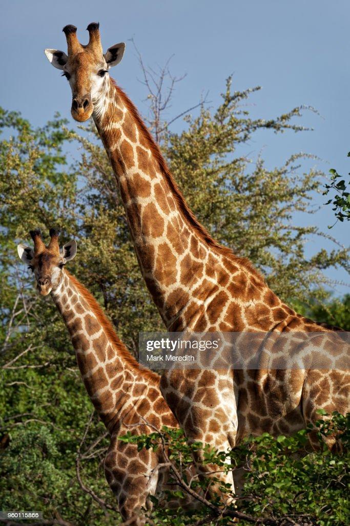 Two giraffes in the Klaserie Reserve, Greater Kruger National Park : Stock-Foto