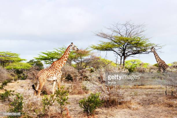 two giraffes in the selous game reserve in tanzania - safari animals stock pictures, royalty-free photos & images
