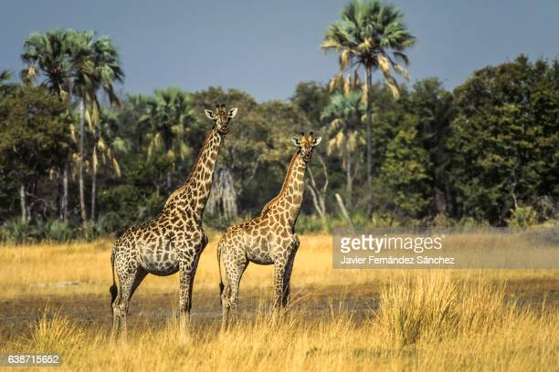 Two giraffes (Giraffa camelopardalis) look directly into the camera framed in the landscape of the savannah of the Okavango Delta in Botswana.
