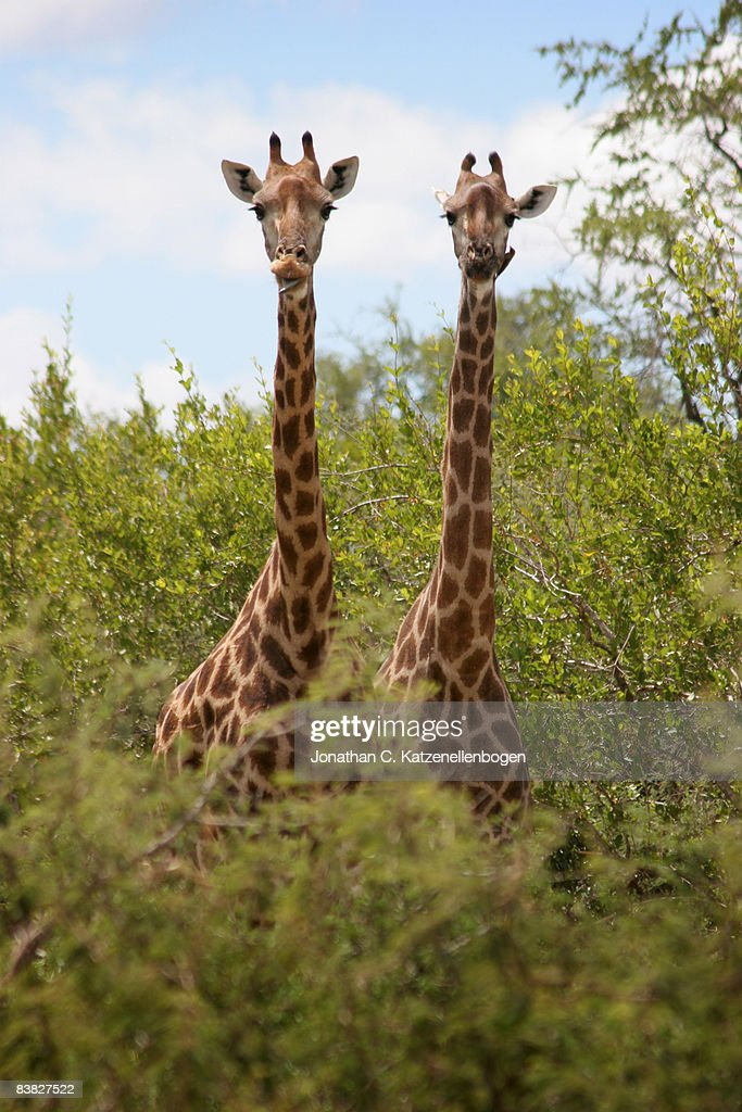 South African Giraffes : News Photo