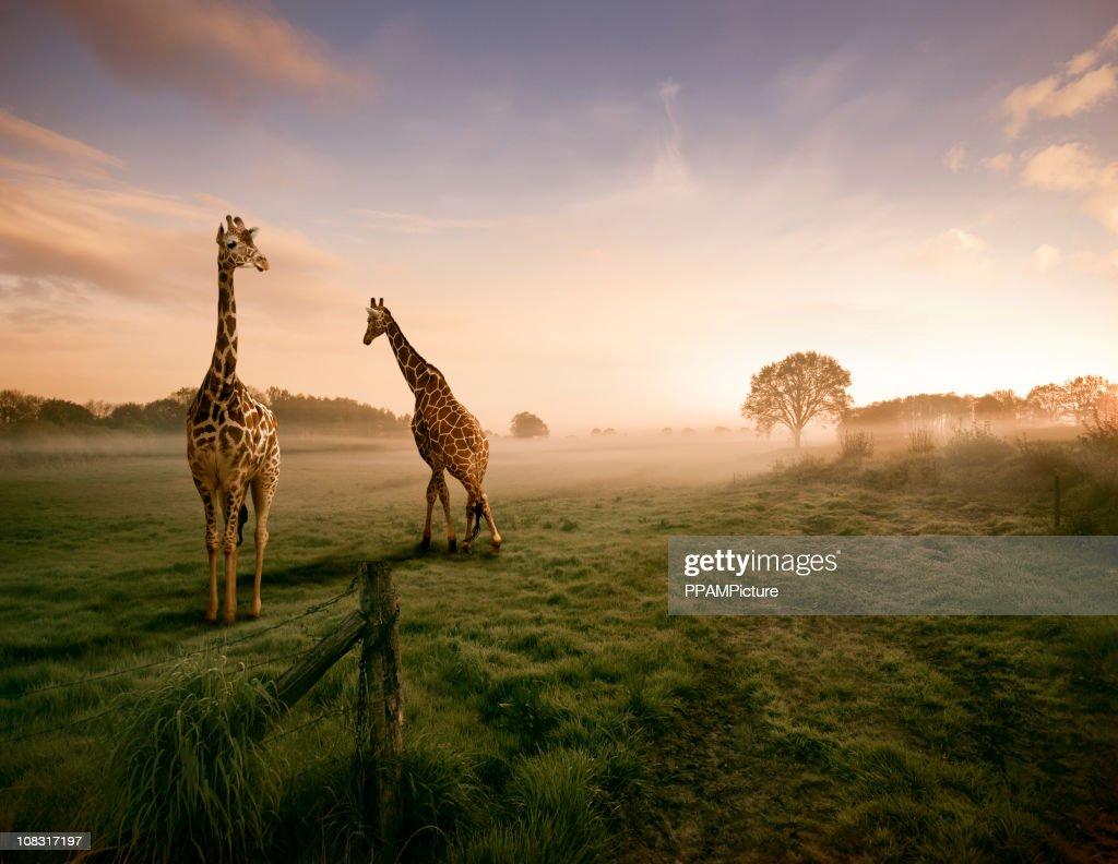 Two giraffes : Stock Photo