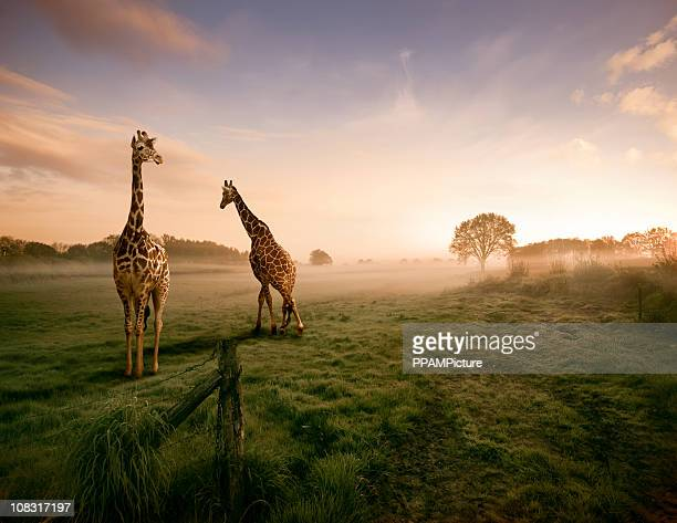 two giraffes - afrika stockfoto's en -beelden