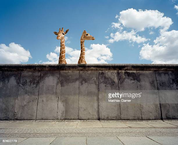Two giraffes watching from a wall