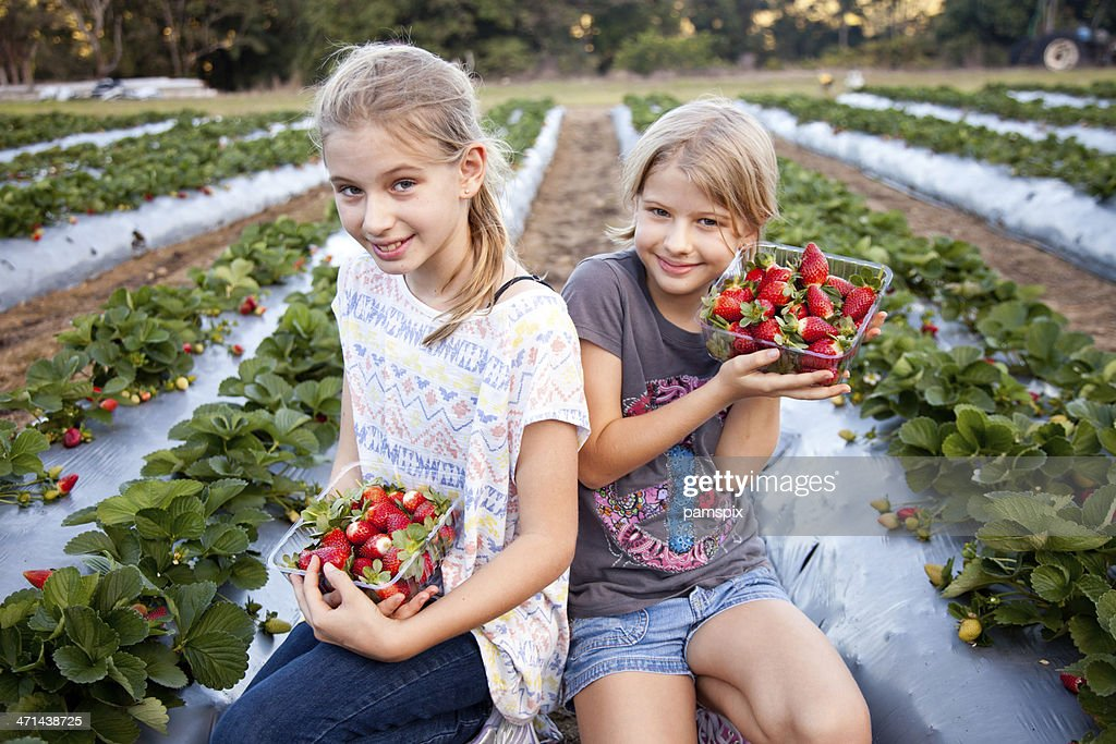 Two Girls Picking Strawberries in strawberry field on farm : Stock Photo