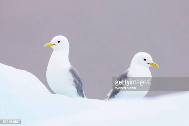 Two Glaucous Gulls (Larus hyperboreus), Svalbard, Norway