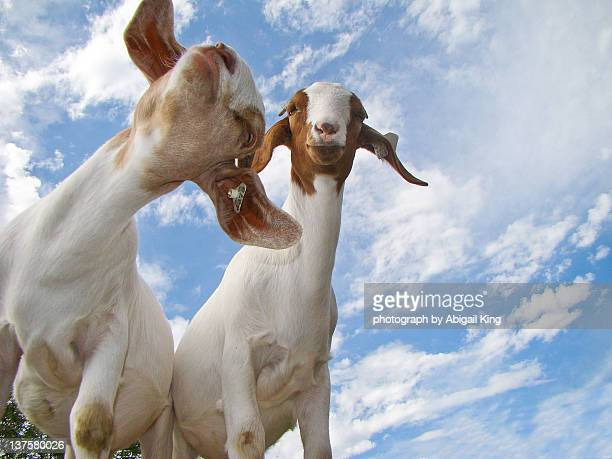 Two goat kids playing together